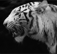 tigre AFF